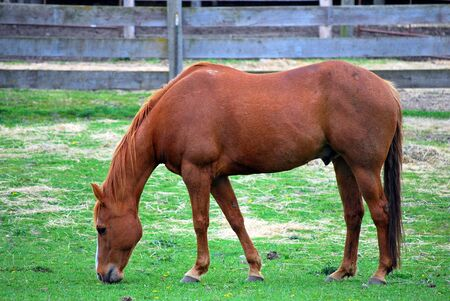 Horse grazing in the grass. 免版税图像