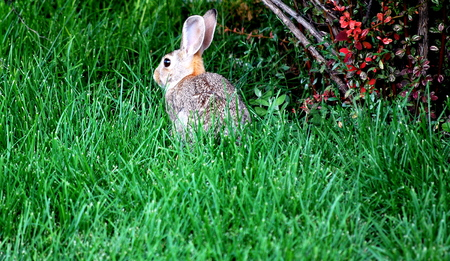 loveable: Rabbit sitting in green grass outside.