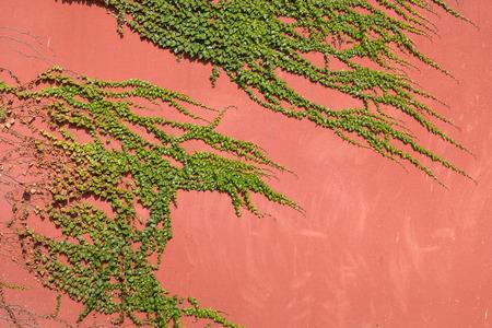 Climbing vine on wall