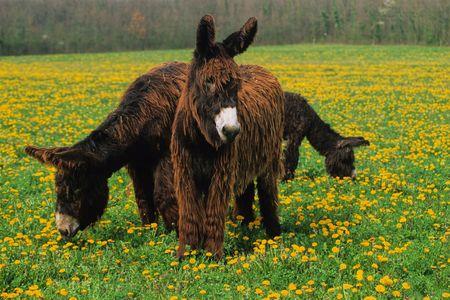 ears donkey: Poitou donkeys in a meadow in spring Stock Photo