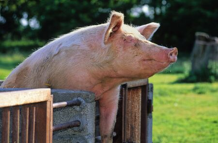 amusing: amusing and curious pig on a farm Stock Photo
