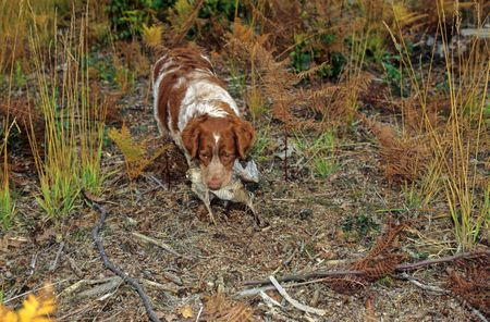 dog and woodcock photo