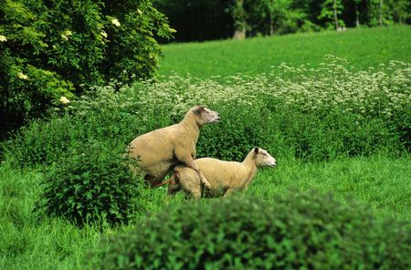 mating sheep in a meadow