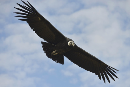Flying condor in the Colca Canyon in the Peruvian Andes at Arequipa, Peru
