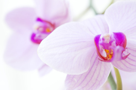 phalaenopsis: Orchid close-up