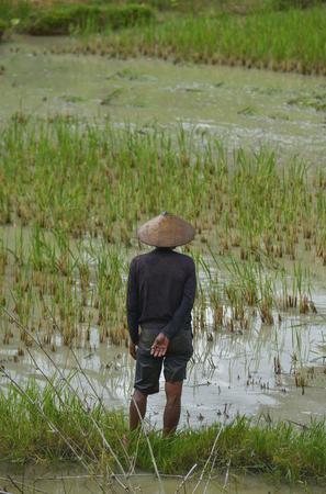 sulawesi: A man in a rice field in Tana Toraja, Sulawesi, Indonesia