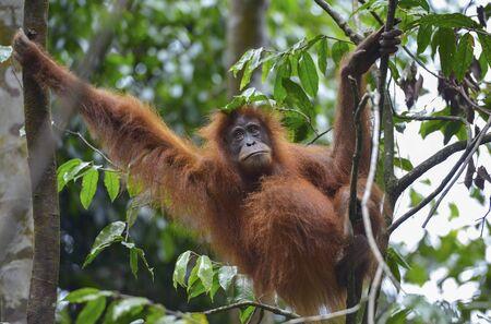 Orangutan in the jungle in Bukit Lawang, Sumatra, Indonesia Stock Photo