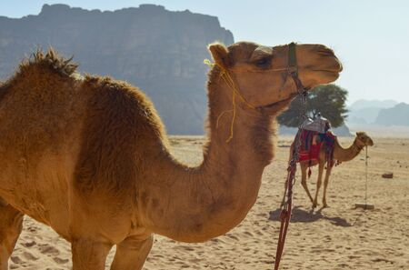 dromedaries: Dromedaries in the desert of Wadi Rum, Jordan