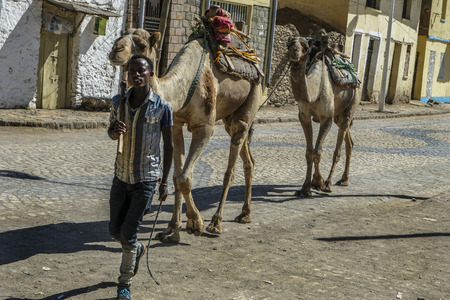Aksum, Ethiopia - January 12: Unidentified man guiding two camels down a street in Aksum on January 12, 2018 in Aksum, Ethiopia.