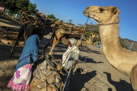 Aksum, Ethiopia - January 13: Camels loaded with firewood in a street of Aksum on January 13, 2018 in Aksum, Ethiopia.