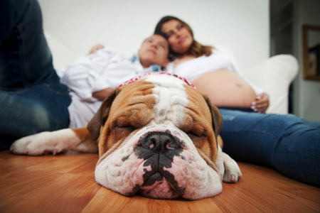 Beautiful bulldog sleeping with his family sitting on the floor