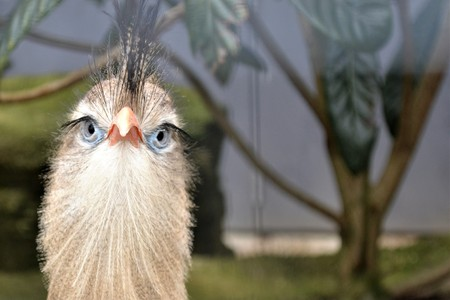 Face to face with a Cariama