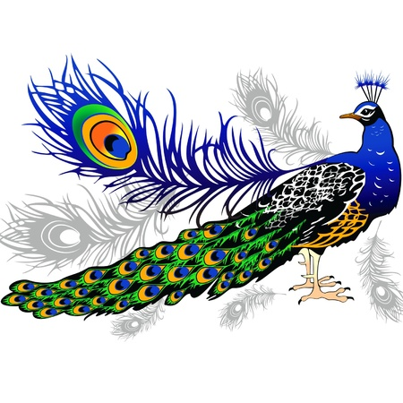 Male peacock feathers on the background Illustration