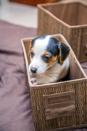 adorable beagle puppy in the foreground Stock Photo