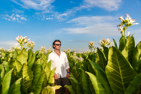Mature man walks in the middle of a large tobacco plantation on a sunny day