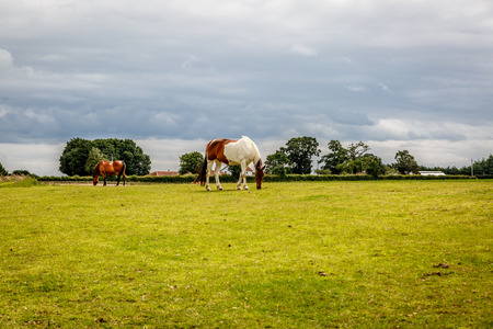 Two precious horses eat grass on a large green ranch Stock Photo