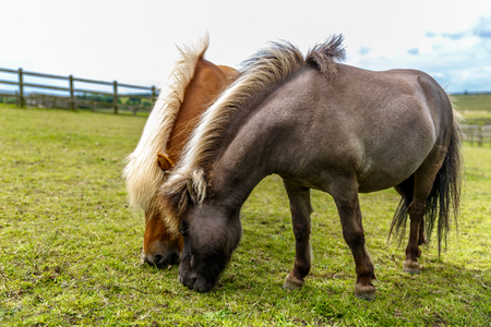 Two beautiful horses with long mane and different color are grazing in a meadow, UK