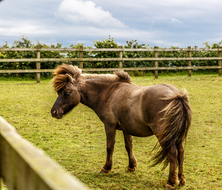 View of a small dark brown horse with mane in the middle of a large farm
