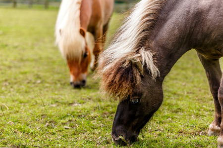 Two beautiful horses with long mane grazing in a meadow, England