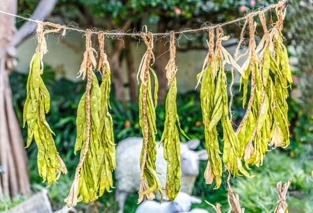 Green beans hanging on a rope, on an ecological farm