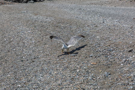 A seagull eats something on the sand of a beach in Spain