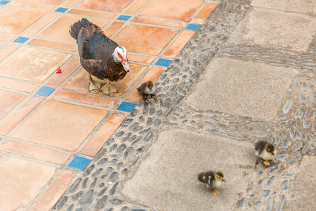 Tender photo of mom duck and her three son ducks, running together