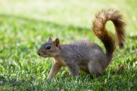 denver parks: Squirrel on a meadow