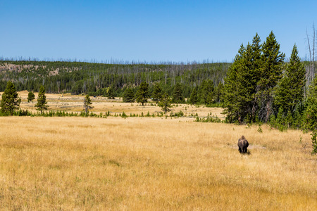 bridger: Bison in Yellowstone National Park