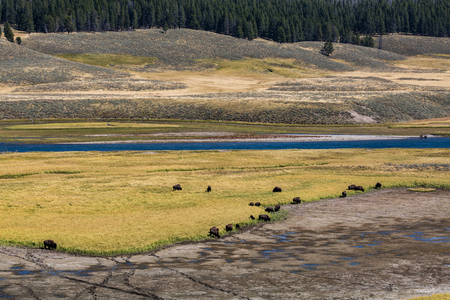 bridger: Bisons in Yellowstone National Park Stock Photo