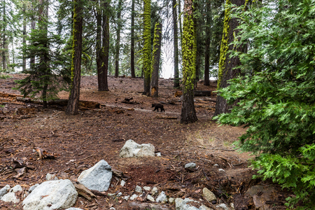 kings canyon national park: Bear in Sequoia National Park, California