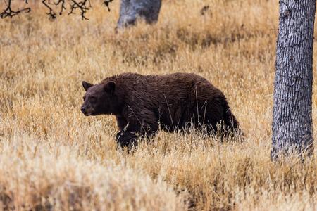 sequoia: Bear in Sequoia National Park, California