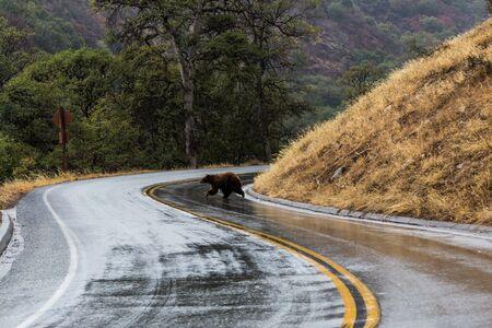 sequoia national park: Bear in Sequoia National Park, California