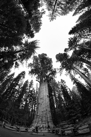 sequoia national park: General Sherman in Sequoia National Park Stock Photo