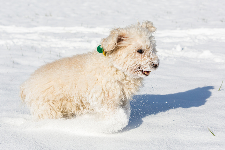 annie: Small white poodle, called Annie, playing in the snow.