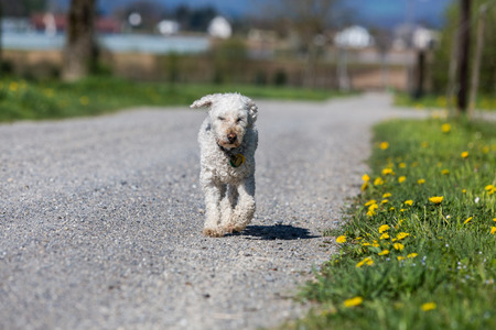 white poodle: Closeup of a white poodle on meadow Stock Photo