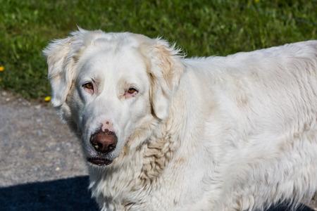 sheep dog: Detail of a white sheep dog