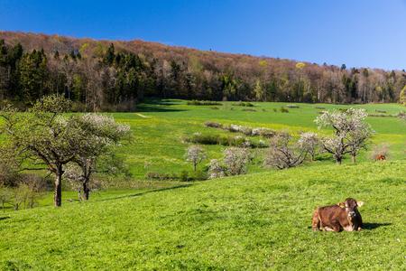 aargau: Swiss cows on meadow, Aargau, Switzerland Stock Photo
