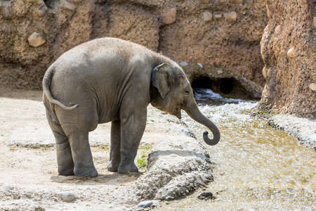 herbivore: View of a young elephant in a swiss zoo in summer 2015