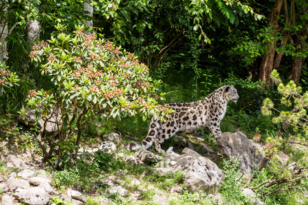 gepard: View of a Snow Leopard in a zoological garden in summer 2015 Stock Photo