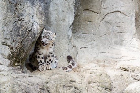 irbis: View of a Snow Leopard in a zoological garden in summer 2015 Stock Photo