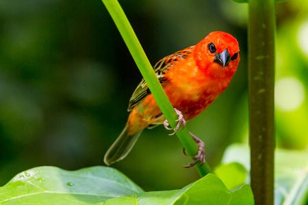 ave del paraiso: Vista detallada de un pájaro cardenal tropical roja en un zoológico suizo