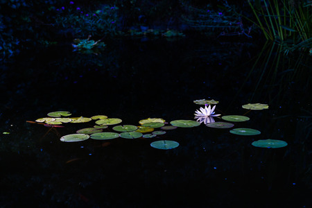 Nymphaea alba (known as the European white water lily or white water rose) Stock Photo