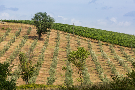 podere: View of olive trees in the tuscan region Maremma Stock Photo