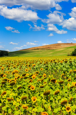 san quirico: View of sunflower fields in the tuscan region San Quirico d Orcia in Italy