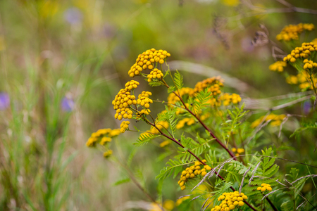 View of a colorful yellow Yarrow flower on a meadow in Slovakia