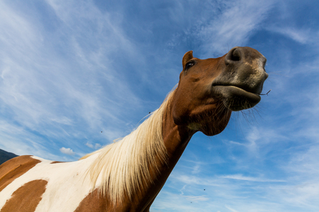 Detail view of a brown horse on in the Slovakian region Orava Stock Photo