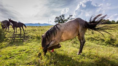 arrodillarse: Vista de un caballo en un prado en la región de Eslovaquia Orava