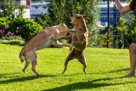 labrador teeth: View of brown Labrador dogs fighting with each other