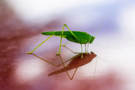 Green grasshopper reflecting in red glossy surface Stock Photo
