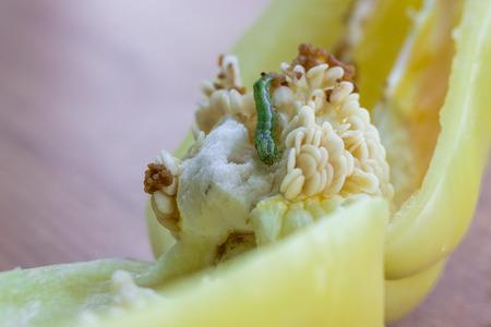 Green pest grub living and eating inside maggoty green bell pepper